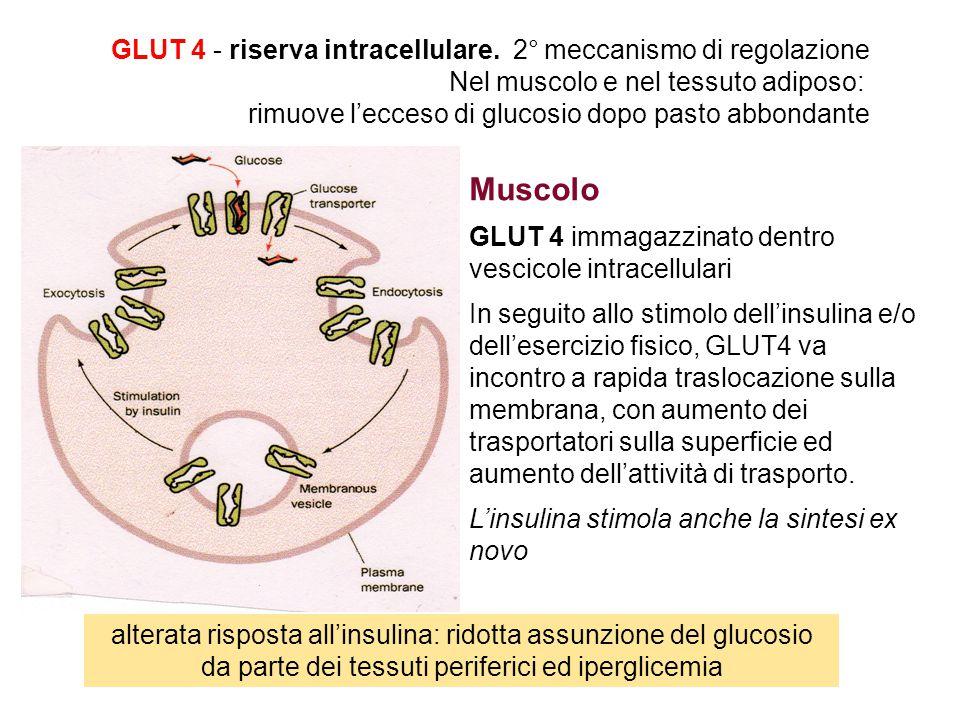Muscolo GLUT 4 - riserva intracellulare. 2° meccanismo di regolazione