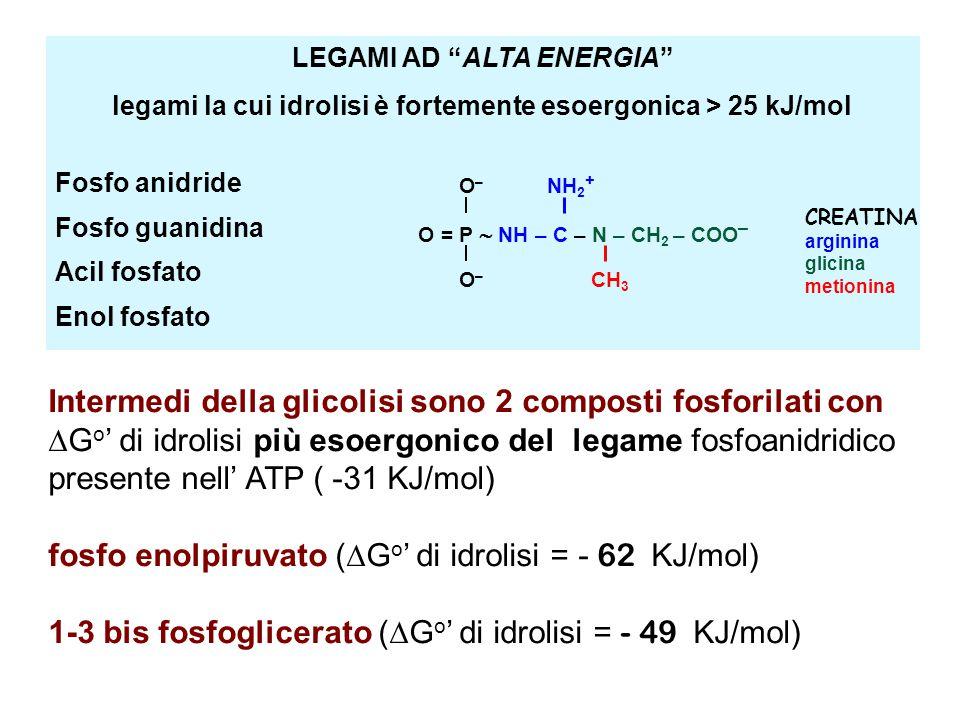 fosfo enolpiruvato (Go' di idrolisi = - 62 KJ/mol)