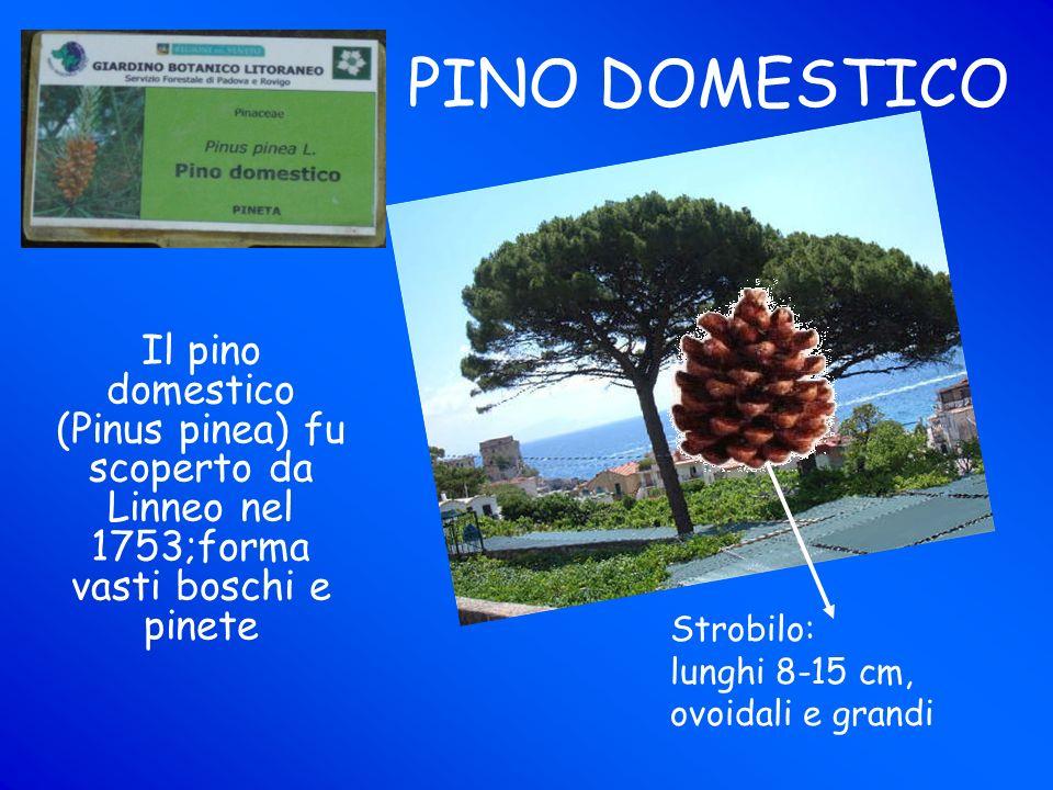 PINO DOMESTICO Il pino domestico (Pinus pinea) fu scoperto da Linneo nel 1753;forma vasti boschi e pinete.