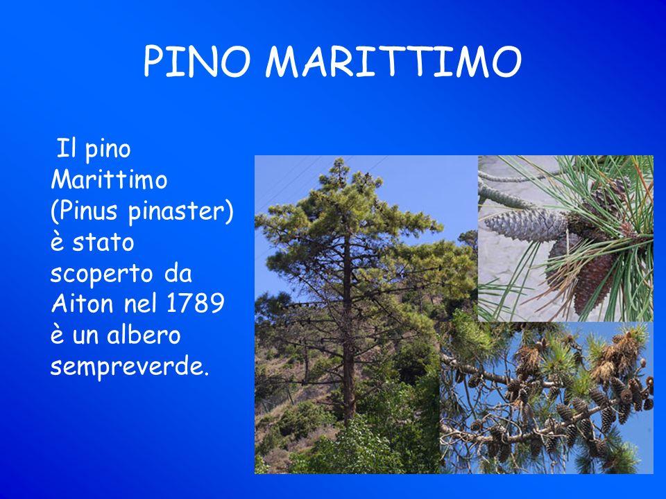 PINO MARITTIMO Il pino Marittimo (Pinus pinaster) è stato scoperto da Aiton nel 1789 è un albero sempreverde.