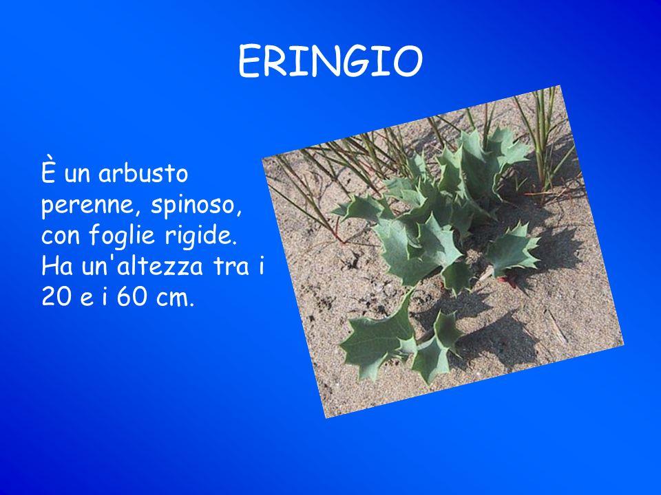 ERINGIO È un arbusto perenne, spinoso, con foglie rigide. Ha un altezza tra i 20 e i 60 cm.