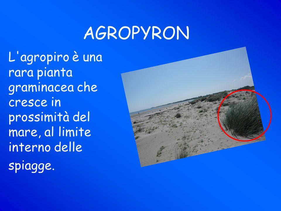 AGROPYRON L agropiro è una rara pianta graminacea che cresce in prossimità del mare, al limite interno delle spiagge.