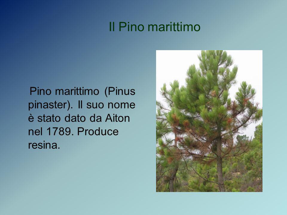 Il Pino marittimoPino marittimo (Pinus pinaster).Il suo nome è stato dato da Aiton nel 1789.