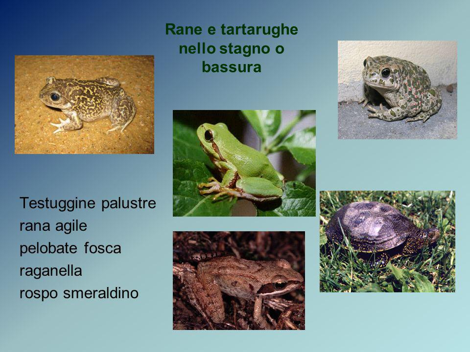 Rane e tartarughe nello stagno o bassura