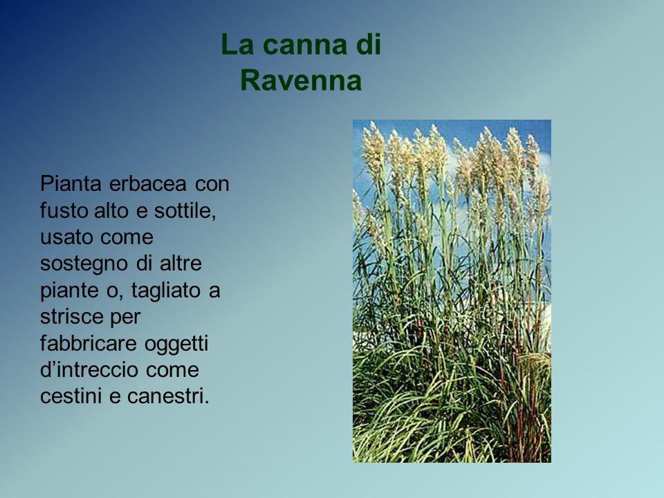 La canna di Ravenna
