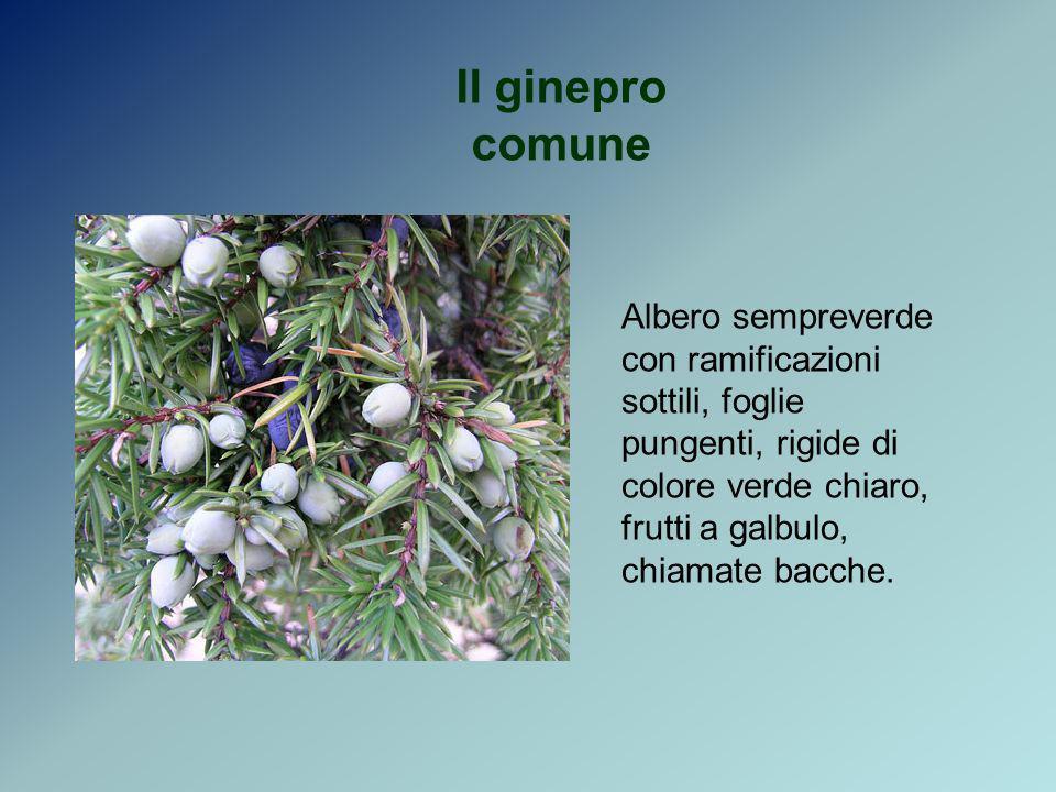 Il ginepro comune Albero sempreverde con ramificazioni sottili, foglie pungenti, rigide di colore verde chiaro, frutti a galbulo, chiamate bacche.