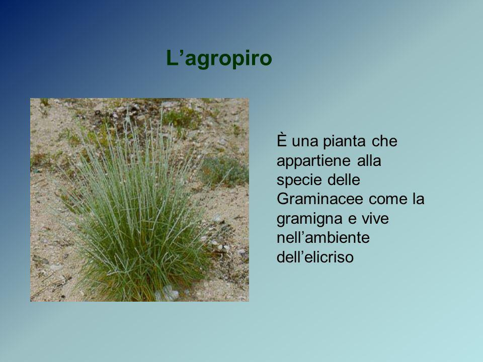 L'agropiro È una pianta che appartiene alla specie delle Graminacee come la gramigna e vive nell'ambiente dell'elicriso.