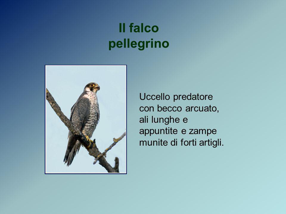 Il falco pellegrinoUccello predatore con becco arcuato, ali lunghe e appuntite e zampe munite di forti artigli.