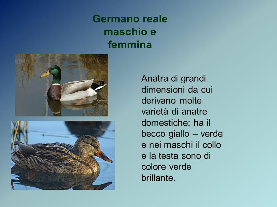 Germano reale maschio e femmina