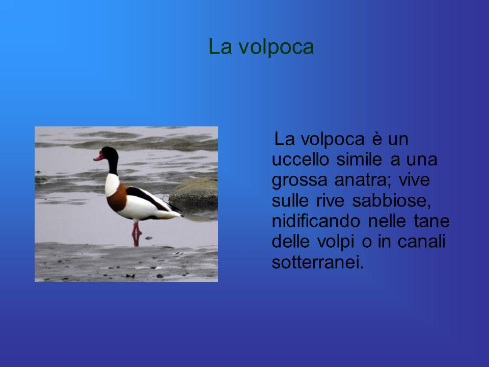 La volpocaLa volpoca è un uccello simile a una grossa anatra; vive sulle rive sabbiose, nidificando nelle tane delle volpi o in canali sotterranei.