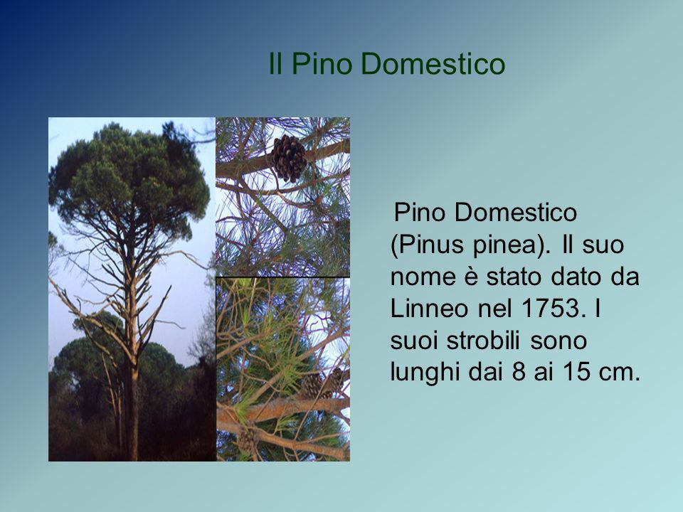 Il Pino DomesticoPino Domestico (Pinus pinea).Il suo nome è stato dato da Linneo nel 1753.