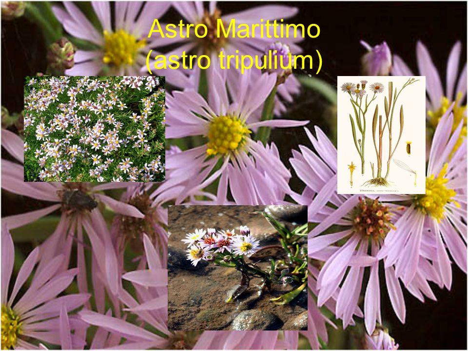 Astro Marittimo (astro tripulium)