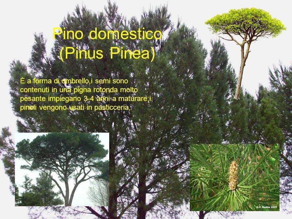 Pino domestico (Pinus Pinea)