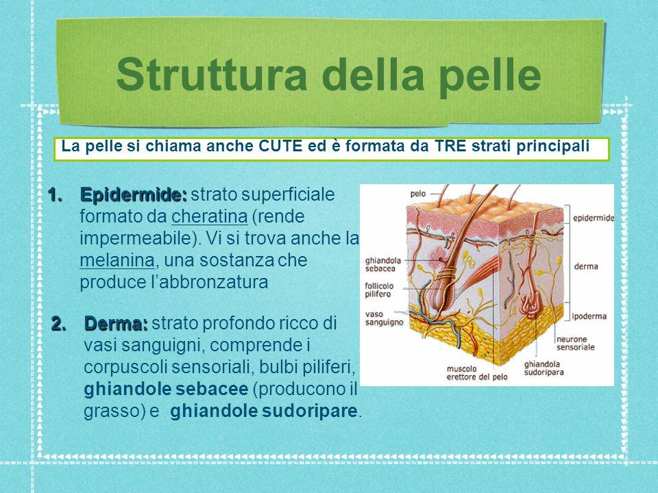 Struttura della pelle La pelle si chiama anche CUTE ed è formata da TRE strati principali.