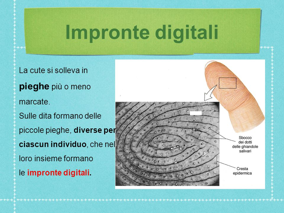 Impronte digitali La cute si solleva in pieghe più o meno marcate.