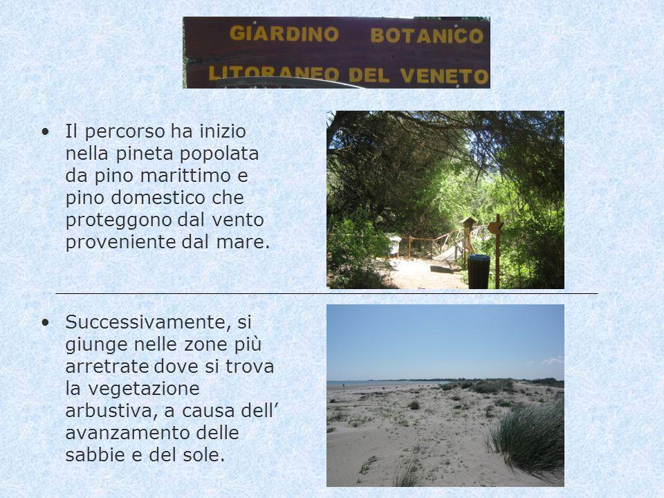 Il percorso ha inizio nella pineta popolata da pino marittimo e pino domestico che proteggono dal vento proveniente dal mare.