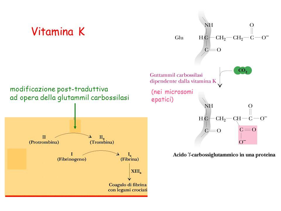 Vitamina K modificazione post-traduttiva