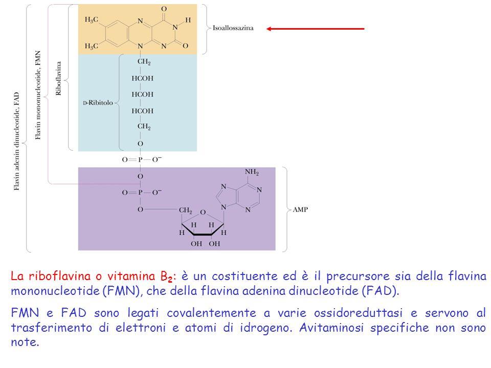 La riboflavina o vitamina B2: è un costituente ed è il precursore sia della flavina mononucleotide (FMN), che della flavina adenina dinucleotide (FAD).