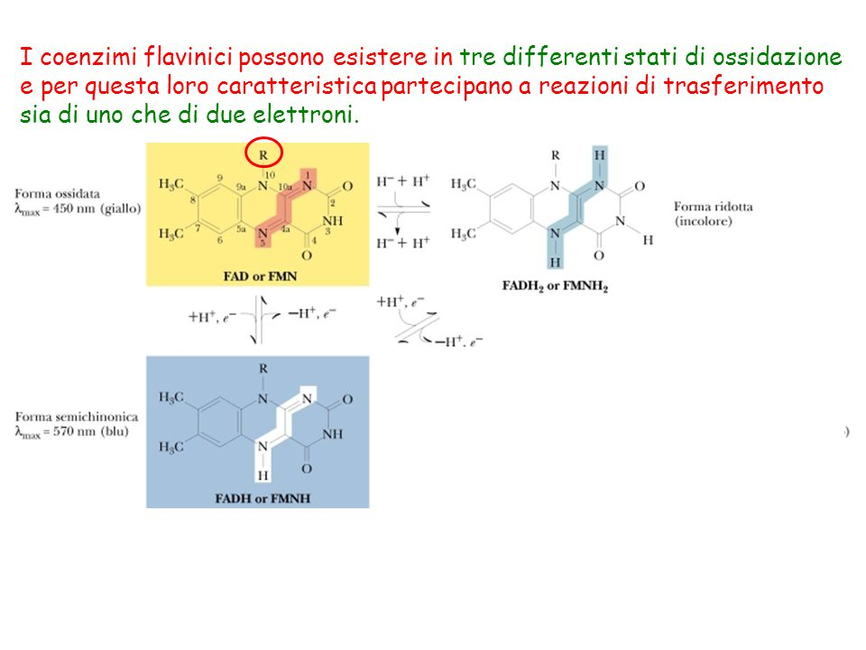 I coenzimi flavinici possono esistere in tre differenti stati di ossidazione