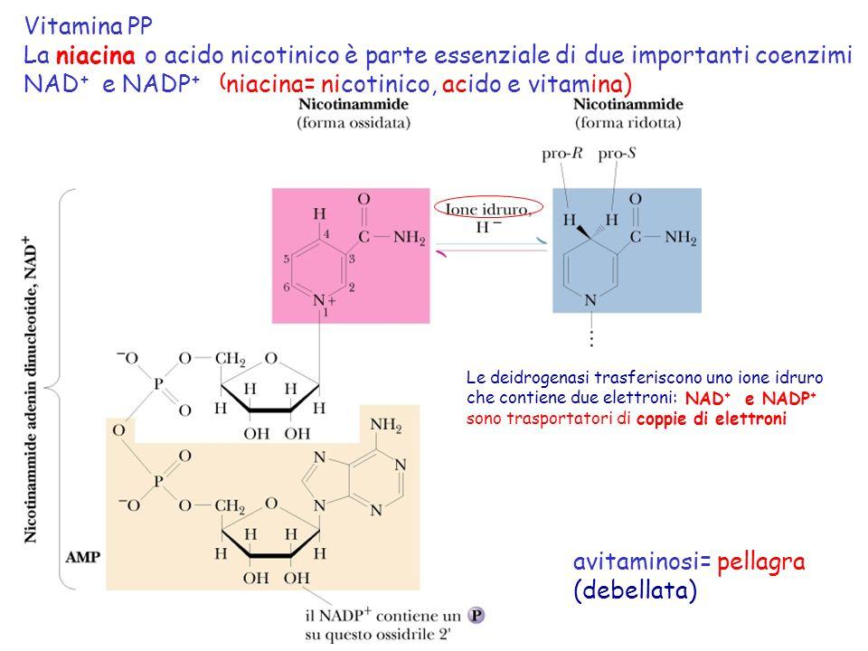 NAD+ e NADP+ (niacina= nicotinico, acido e vitamina)