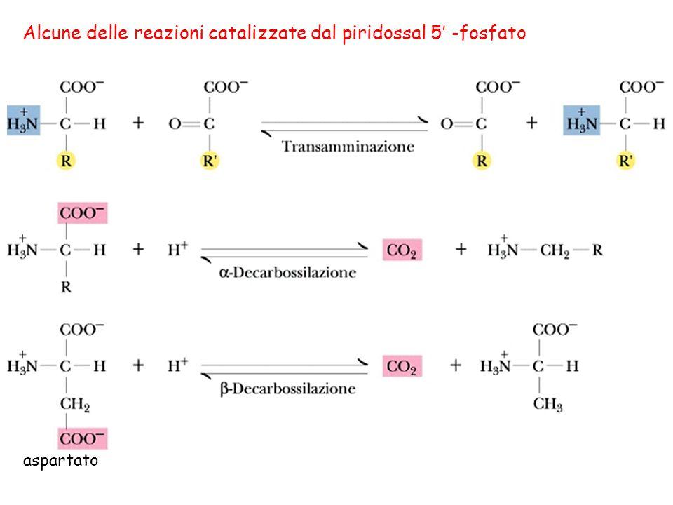 Alcune delle reazioni catalizzate dal piridossal 5' -fosfato