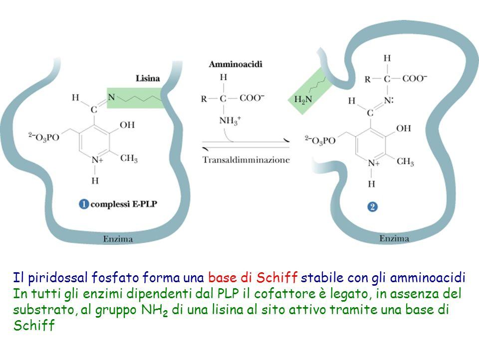 Il piridossal fosfato forma una base di Schiff stabile con gli amminoacidi