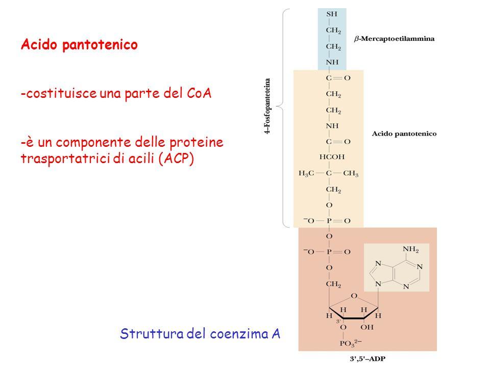 Acido pantotenico costituisce una parte del CoA. è un componente delle proteine. trasportatrici di acili (ACP)