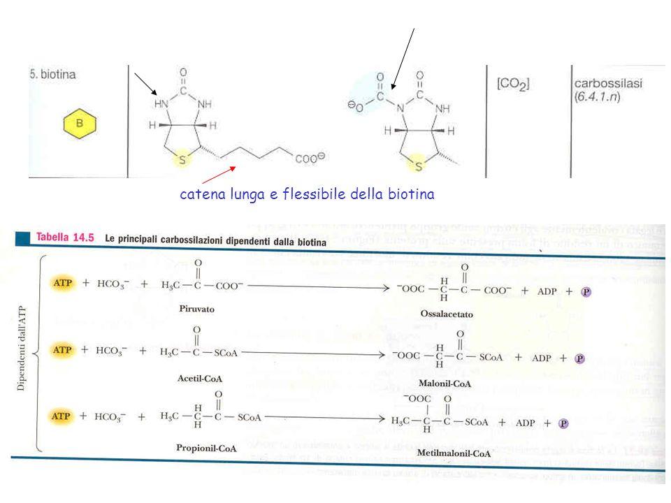 catena lunga e flessibile della biotina