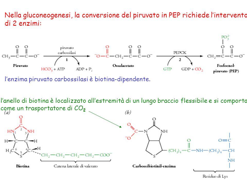 Nella gluconeogenesi, la conversione del piruvato in PEP richiede l'intervento