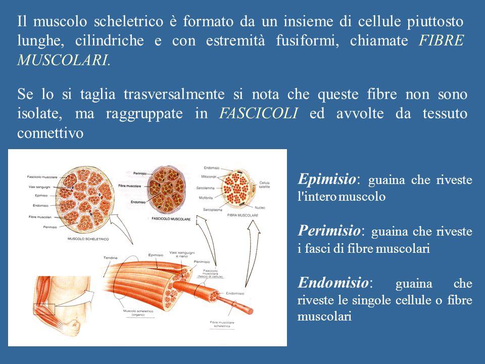 Il muscolo scheletrico è formato da un insieme di cellule piuttosto lunghe, cilindriche e con estremità fusiformi, chiamate FIBRE MUSCOLARI.