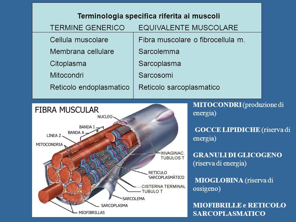 Terminologia specifica riferita ai muscoli