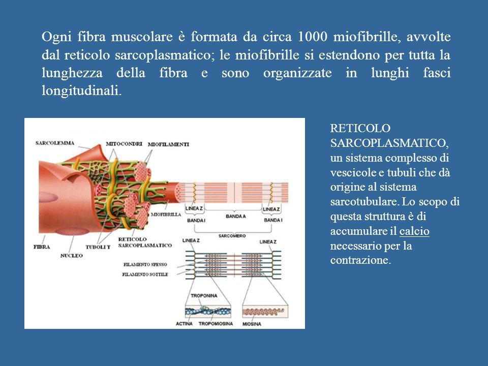 Ogni fibra muscolare è formata da circa 1000 miofibrille, avvolte dal reticolo sarcoplasmatico; le miofibrille si estendono per tutta la lunghezza della fibra e sono organizzate in lunghi fasci longitudinali.