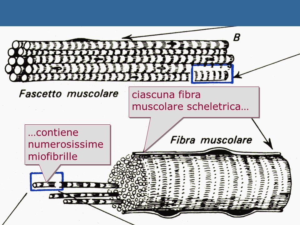 ciascuna fibra muscolare scheletrica…
