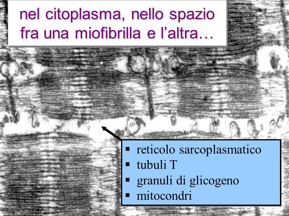 nel citoplasma, nello spazio fra una miofibrilla e l'altra…