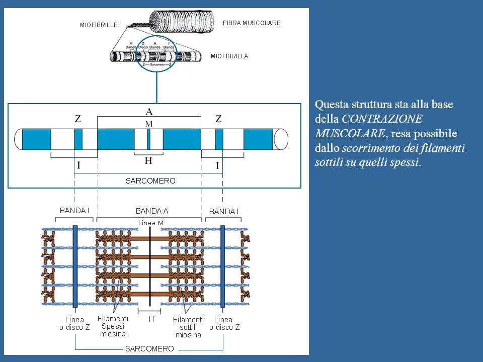Questa struttura sta alla base della CONTRAZIONE MUSCOLARE, resa possibile dallo scorrimento dei filamenti sottili su quelli spessi.