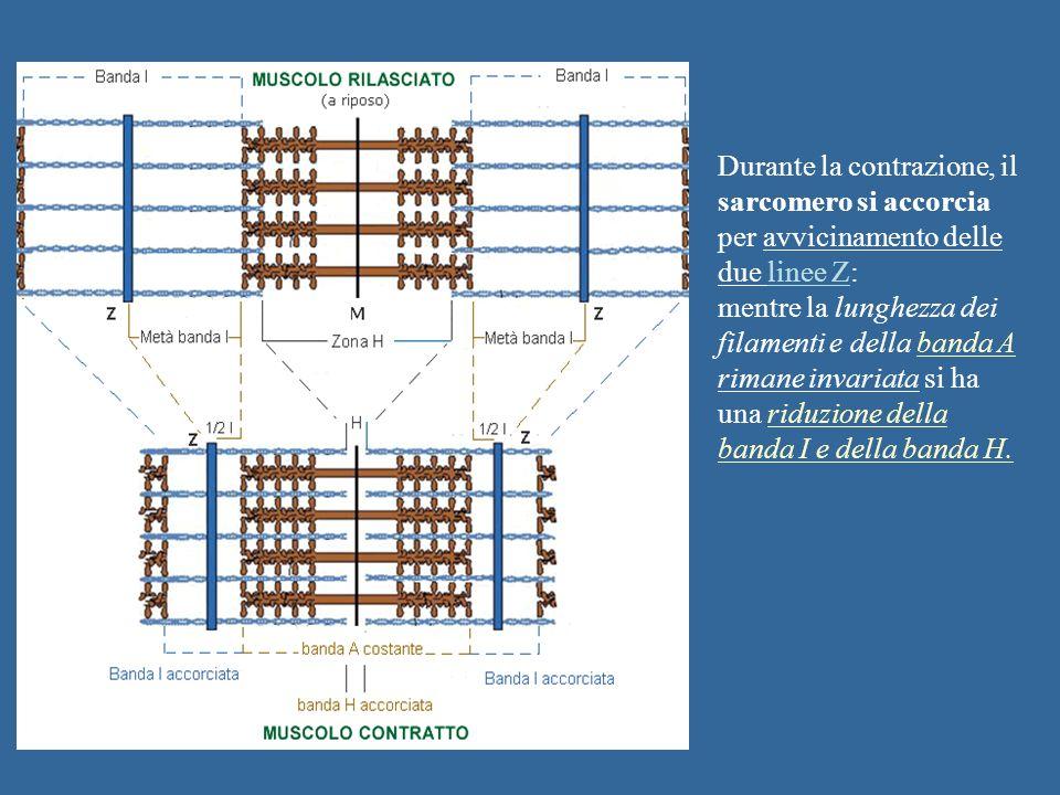 Durante la contrazione, il sarcomero si accorcia per avvicinamento delle due linee Z: