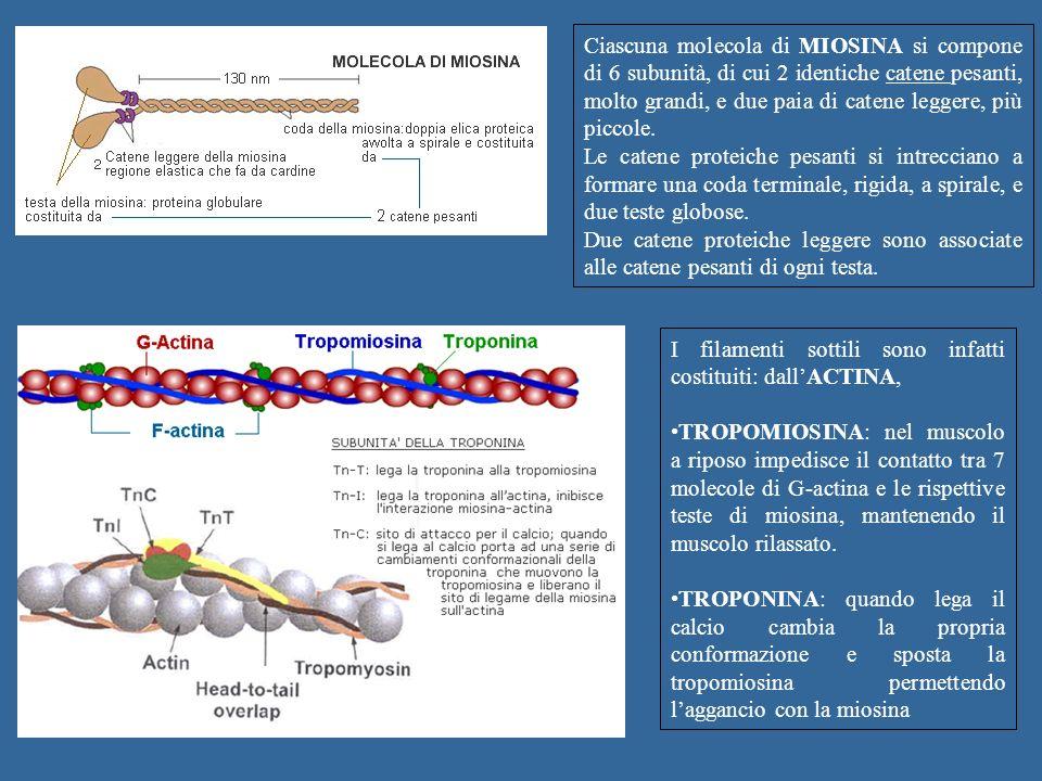 Ciascuna molecola di MIOSINA si compone di 6 subunità, di cui 2 identiche catene pesanti, molto grandi, e due paia di catene leggere, più piccole.