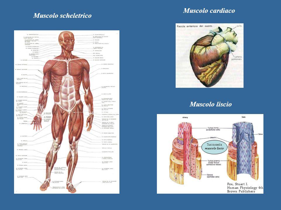 Tunica media muscolo liscio