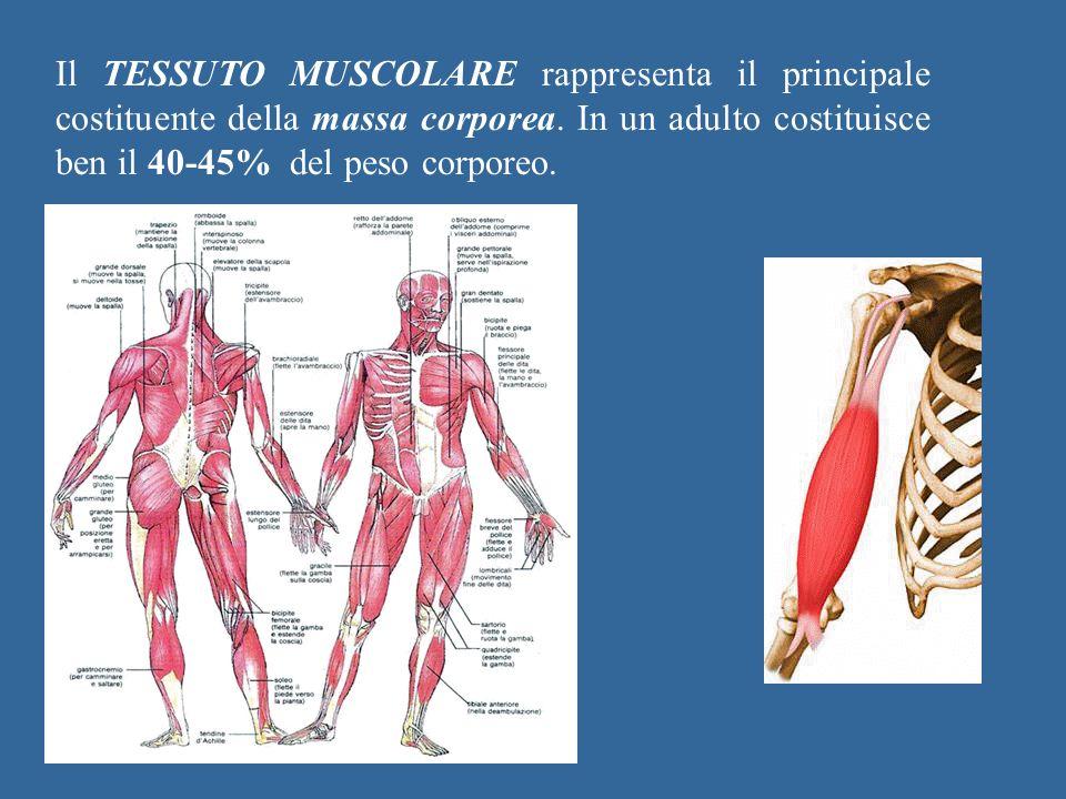 Il TESSUTO MUSCOLARE rappresenta il principale costituente della massa corporea.