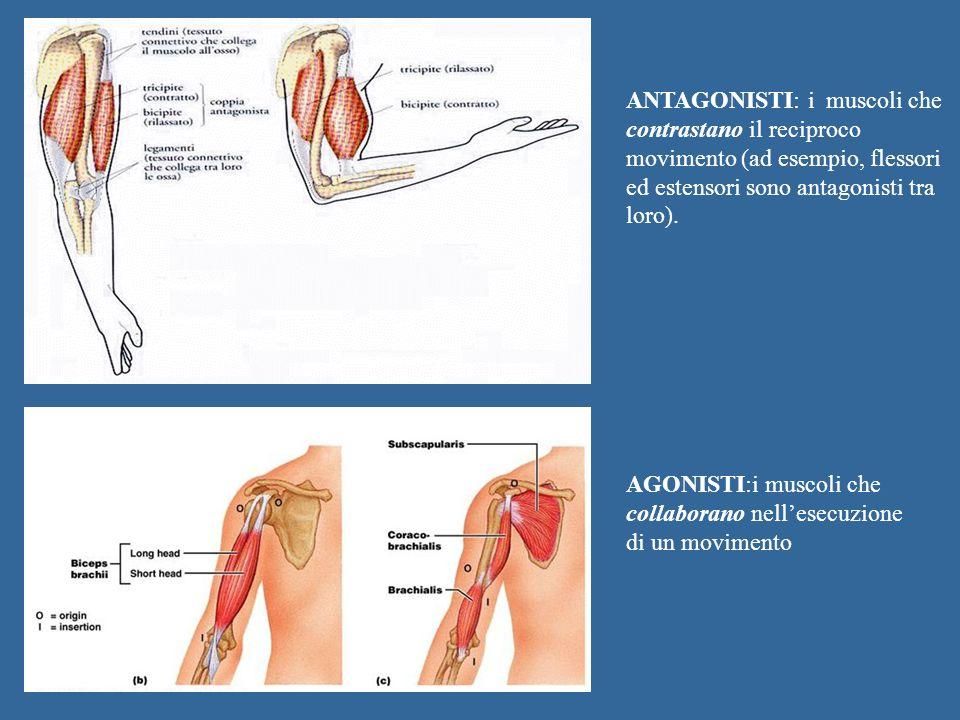 ANTAGONISTI: i muscoli che contrastano il reciproco movimento (ad esempio, flessori ed estensori sono antagonisti tra loro).