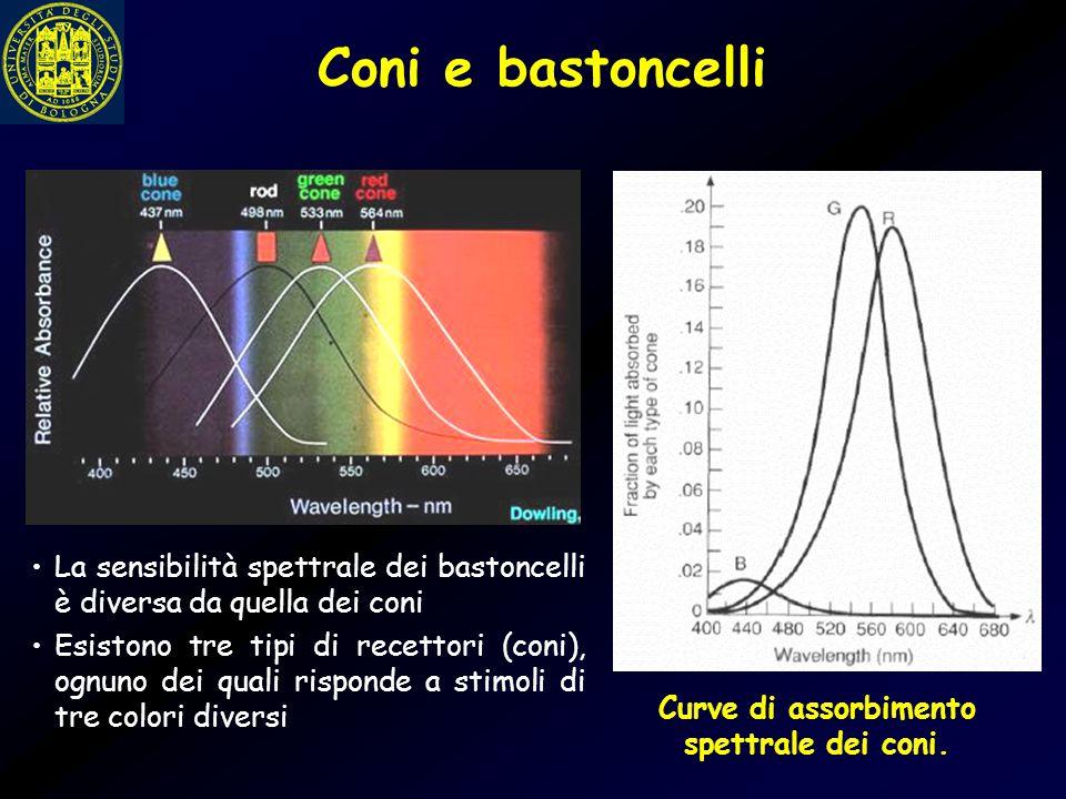 Curve di assorbimento spettrale dei coni.