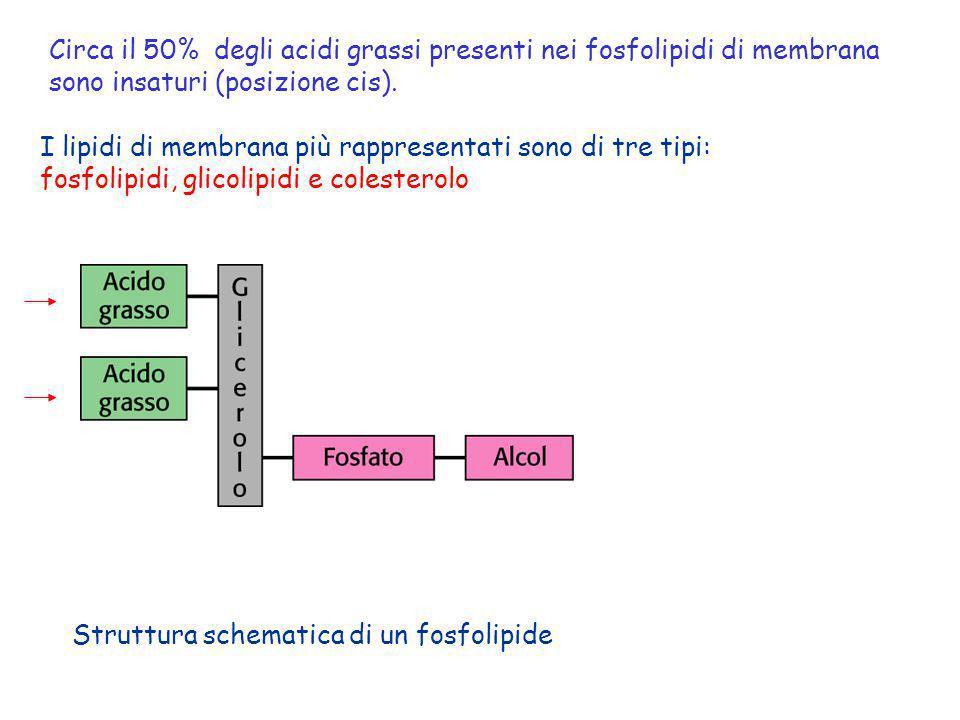 Circa il 50% degli acidi grassi presenti nei fosfolipidi di membrana