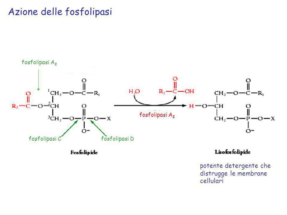 Azione delle fosfolipasi
