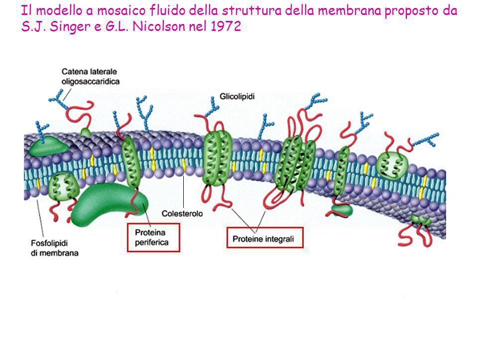 Il modello a mosaico fluido della struttura della membrana proposto da