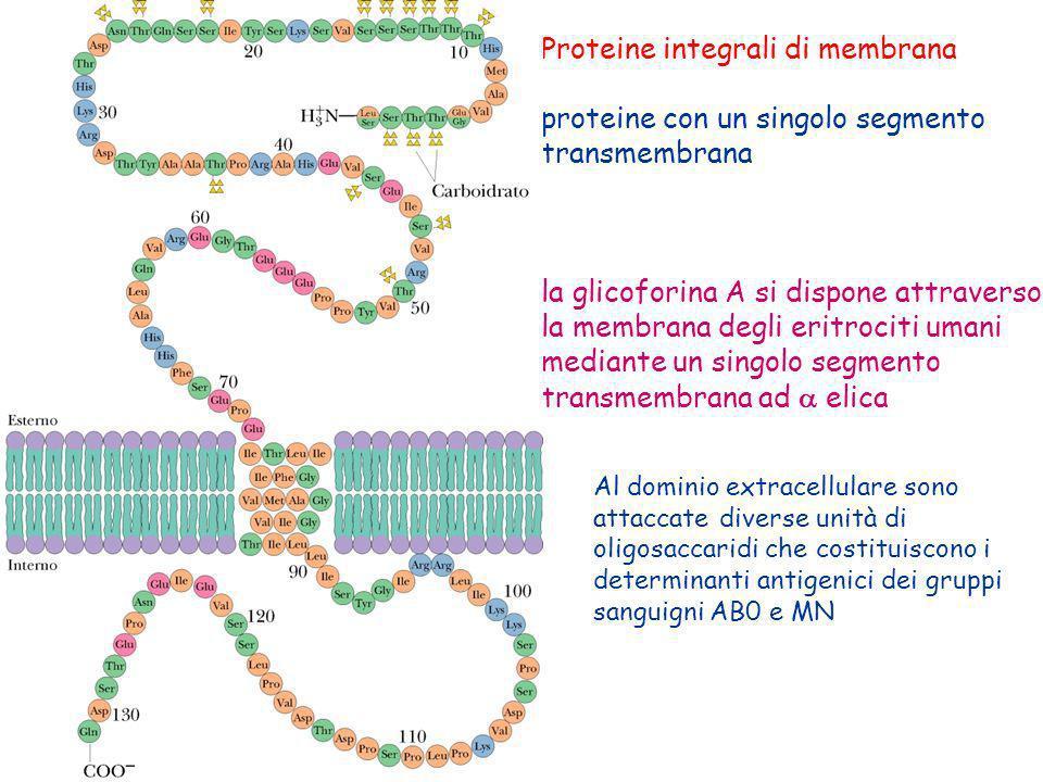 Proteine integrali di membrana proteine con un singolo segmento