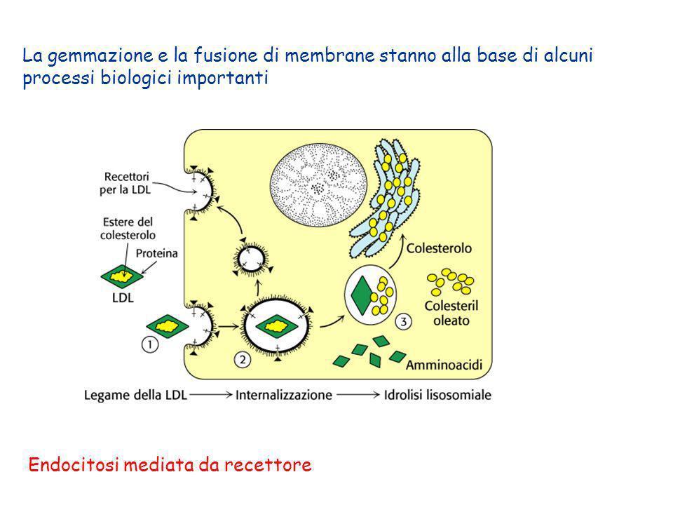 La gemmazione e la fusione di membrane stanno alla base di alcuni