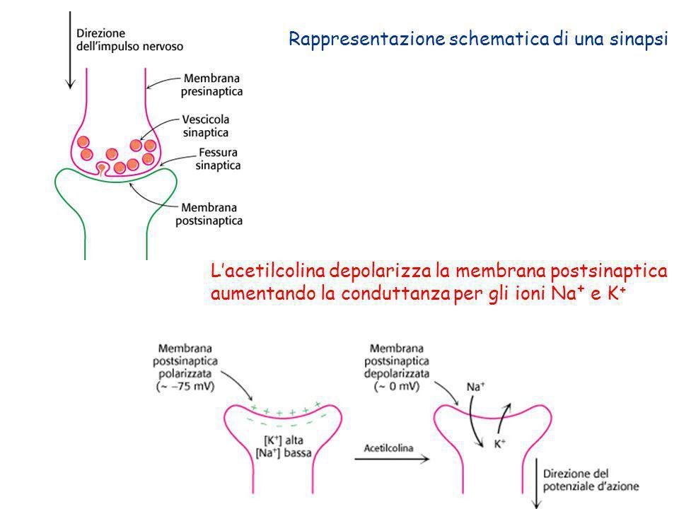 Rappresentazione schematica di una sinapsi
