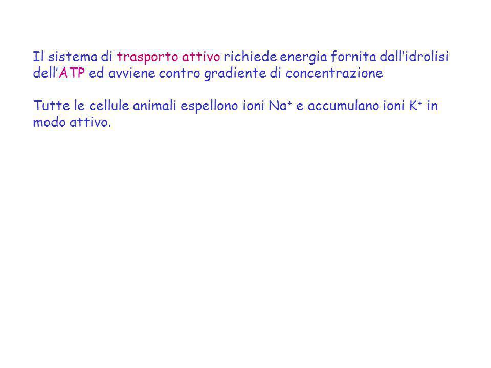 Il sistema di trasporto attivo richiede energia fornita dall'idrolisi dell'ATP ed avviene contro gradiente di concentrazione
