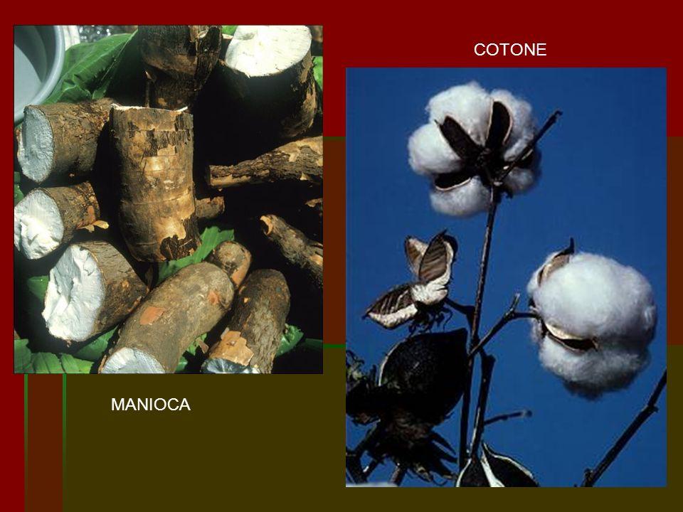 COTONE MANIOCA