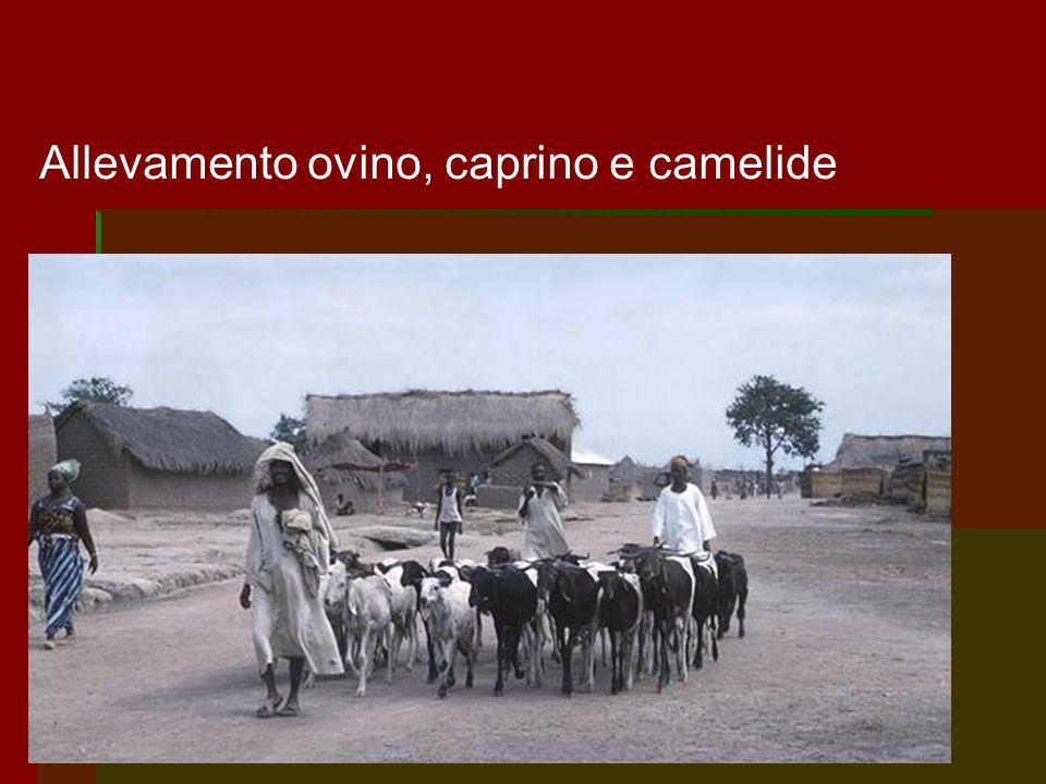 Allevamento ovino, caprino e camelide